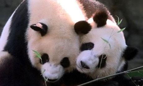 Giant panda Lun Lun, right, has given birth to twins at Zoo Atlanta