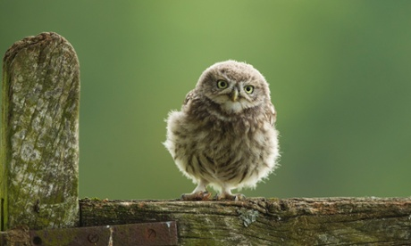 A little owl chick stands on a wooden fence in Droitwich, England.