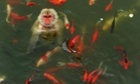 A monkey plays in a pond surrounded by carps at a wildlife park in Hefei, Anhui Province, China.