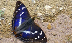 A purple emperor butterfly