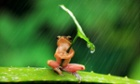 A resourceful frog sheltering from the rain using a leaf as an umbrella in East Java, Indonesia.