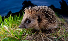 hedgehog british natural emblem