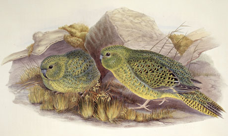The Australian night parrot, Pezoporus occidentalis
