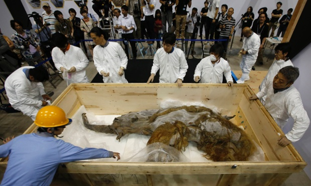 A 39,000-year-old female woolly mammoth, which was found frozen in Siberia, Russia, is prepared for display in Yokohama, Japan.