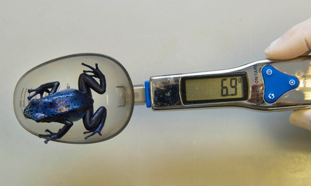 This tiny blue poison dart frog is weighed on specially adapted spoon shaped scales not to be confused with cutlery!