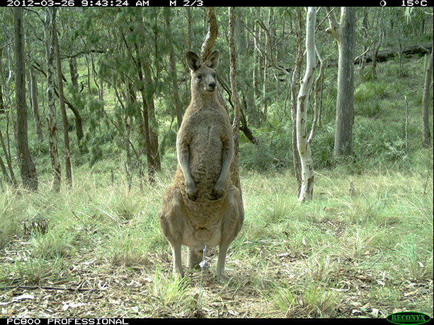 Kangaroo Natural Habitat Wildlife in natural ha...