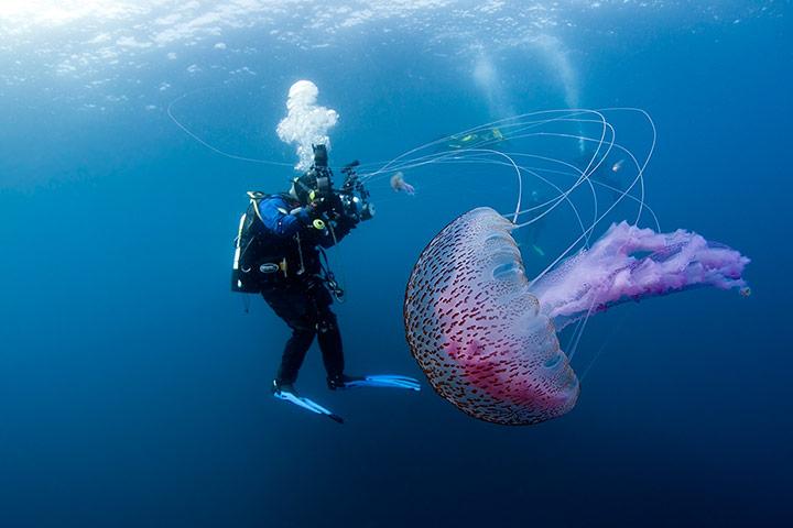 mauve stinger jellyfish australia - photo #22