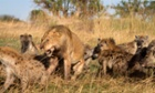 A lion roars at a clan of hyenas at the Lamai Serengeti Wildlife Park in Serengeti, Tanzania.