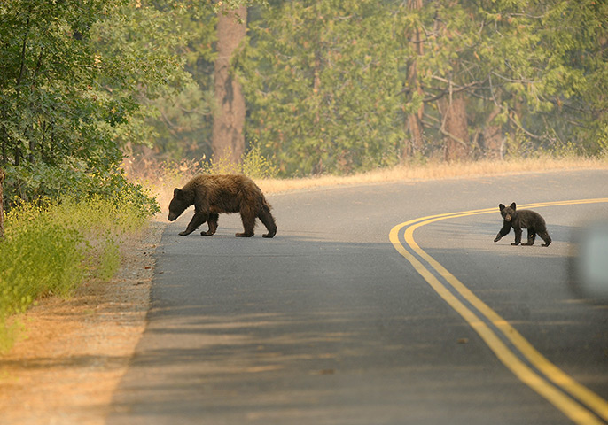 Wildfire update: A bear and her cub cross a road near the Yosemite National Park border in G