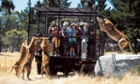 Visitors stand inside a cage as lions roam around them at the Orana Wildlife Park in Christchurch, New Zealand.