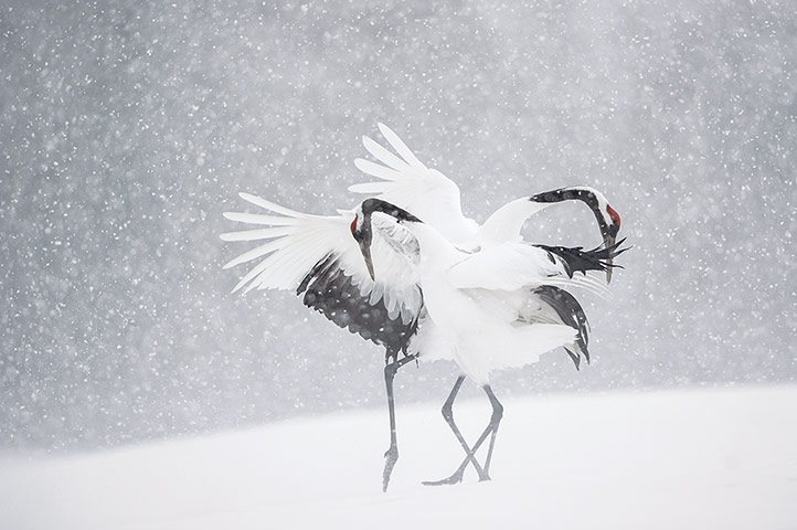 NHM Book: The Masters of Nature Photography : VINCENT MUNIER DANCING CRANES