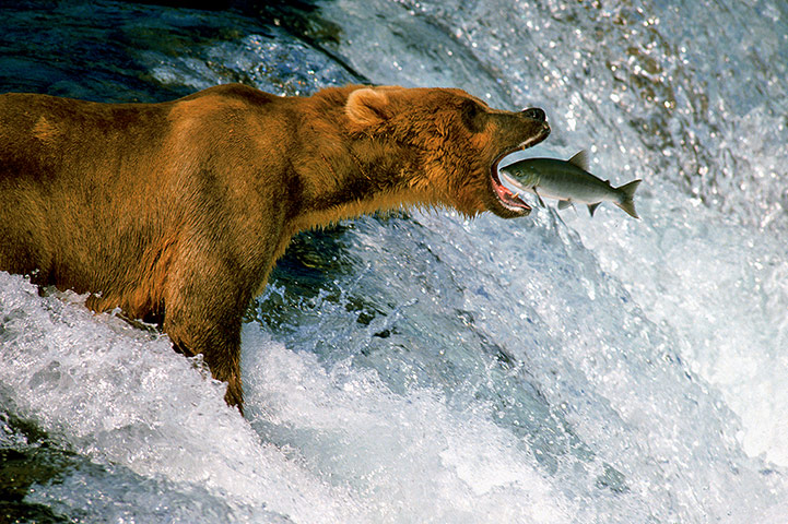 NHM Book: The Masters of Nature Photography : THOMAS D MANGELSEN CATCH OF THE DAY