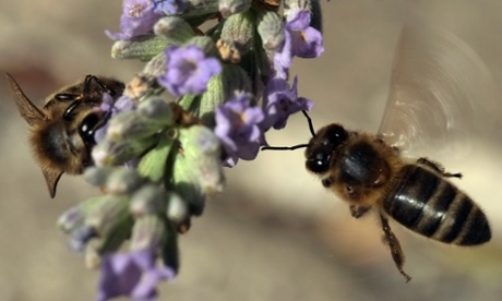 Beekeeping, colony collapse disorder and the future of bees –Q&A
