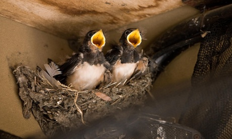 This is a photograph issued by Pensthorpe Nature Reserve in Norfolk of a family of swallows who are ready to fly the nest after raising four chicks in the roof of a Land Rover.