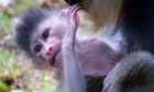 A new-born Mandrill, an endangered primate from the rainforests of West Africa, with its mother, Marta at Paignton Zoo.