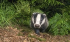 Big Pic - Badgers