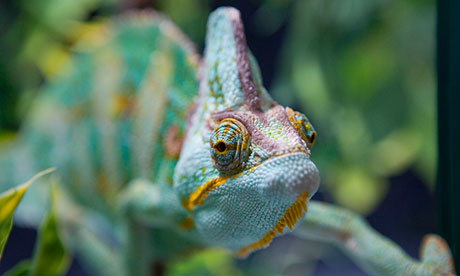 A confiscated Yemen chameleon.