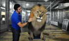 Alexander Lacey, brushing the mane of Masai the lion before opening night of a circus.
