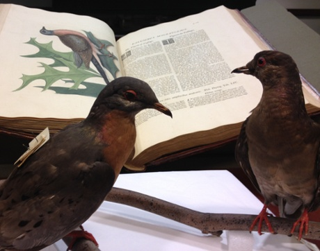 Martha (right) peers at the passenger pigeon entry in Mark Catesby's The Natural History of Carolina, Florida and the Bahama Islands (London, 1729). The pigeon in the foreground is a male. Photograph: Daria Wingreen-Mason