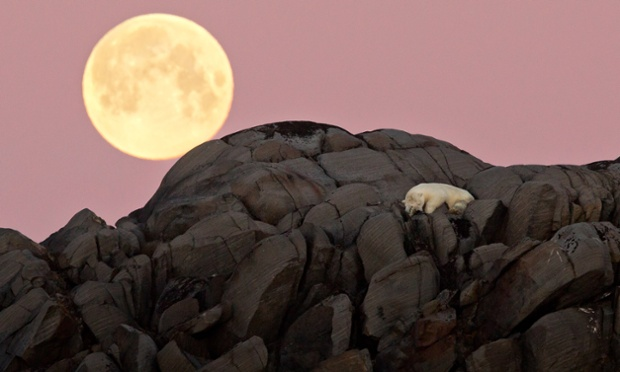 This sleepy polar is captured laying down for the night under this full moon looming behind him, this polar bear nestles down for the night. Snuggling up on top of a rocky hill, he lies comfortably as he puts his head down at the end of a long day in Northern Svalbard Archipelago, Norway.