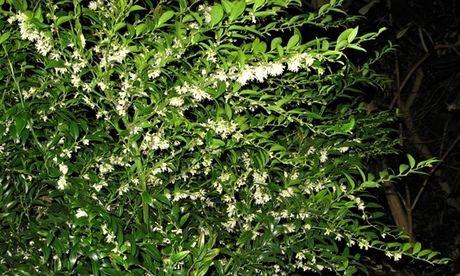 Sarcococca ruscifolia v. chinensis