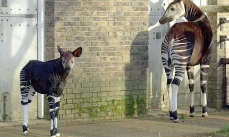 A couple of Okapis at London Zoo.