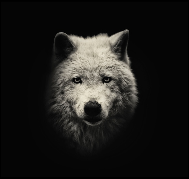 An Arctic wolf.