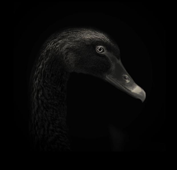 A black swan.