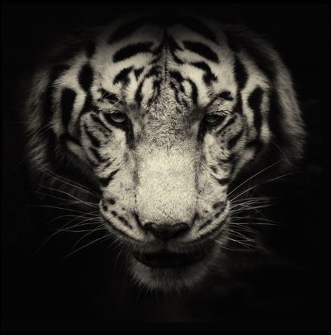A white tiger.