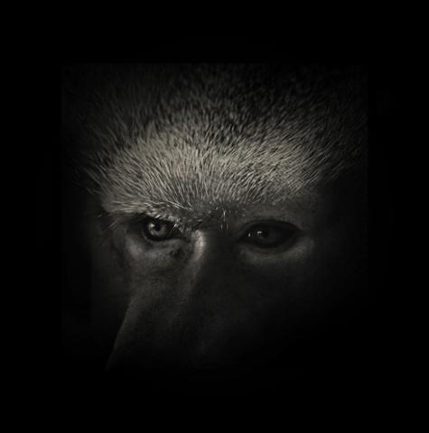 A Hamadrayas baboon.