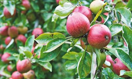 Alys Fowler: pruning apple trees