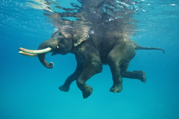 An elephant takes a dip in the Indian Ocean.