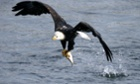 An eagle catches a fish in the icy cold waters of the Des Moines River, Iowa, US.