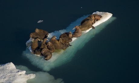 Flights re-routed to avoid walrus stampede on Alaska beach...