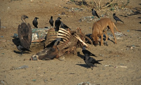 Phamarceutical pollution : Rapid Decline in Vultures in India