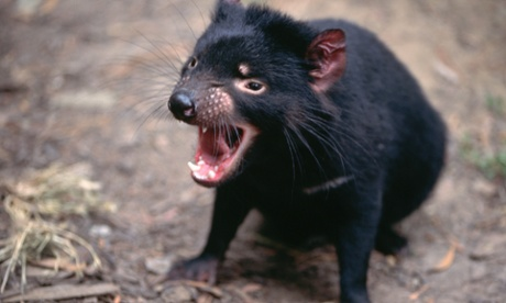 A Tasmanian devil at an Australian zoo bears its teeth.