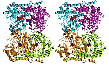 Stereoscopic image of an enzyme (serene hydroxymethyltransferase)