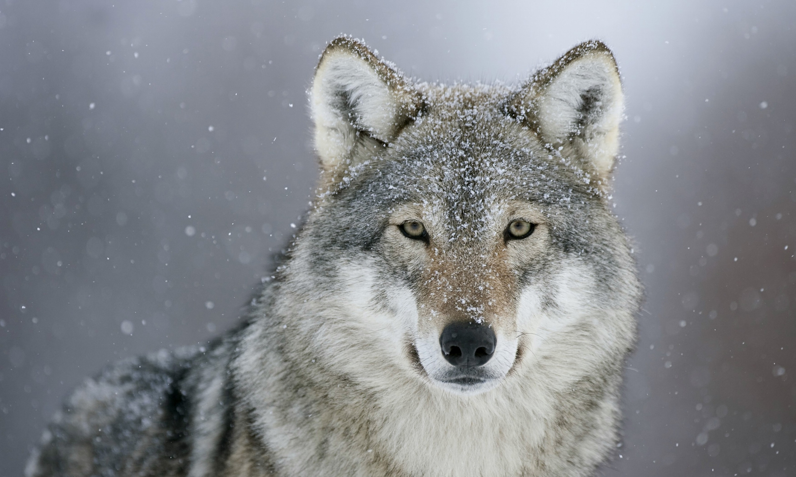 wild the grey wolf could Wolf