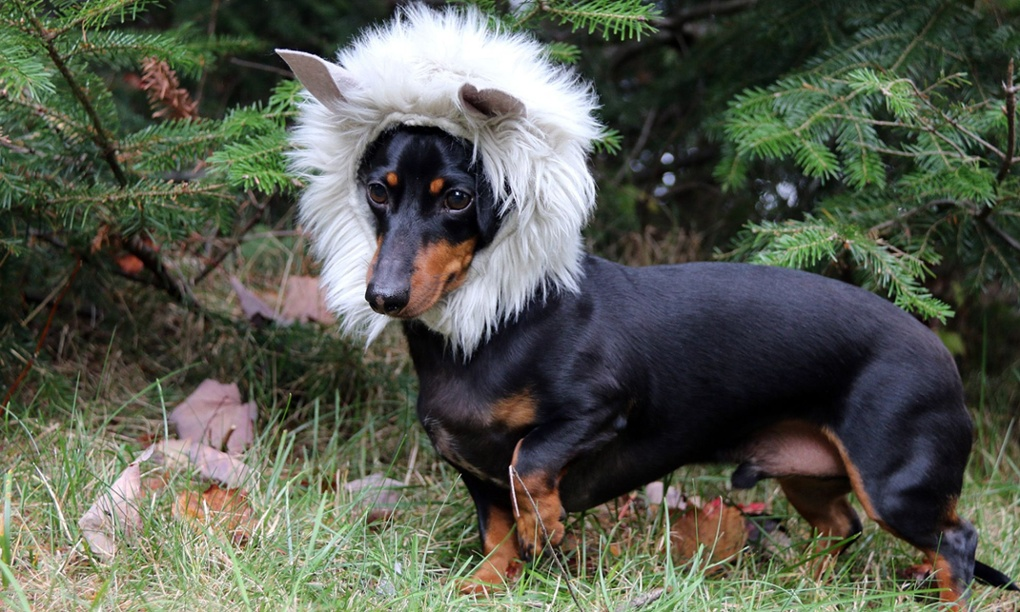 dachshunds in costumes in pictures life and style