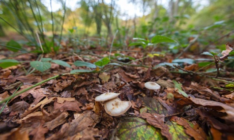 Fungus in Epping Forest.Saprotrophic funghi, a fungus that can be found in Epping Forest.