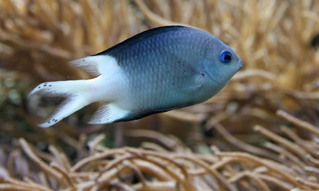 Spiny damselfish, Acanthochromis polyacanthus. Photo: Flickr/creative commons.