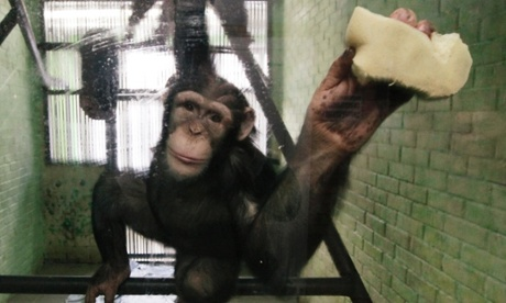 Wise argues that chimpanzees have enough in common with humans to merit a distinct legal status. Photograph: Ilya Naymushin/Reuters