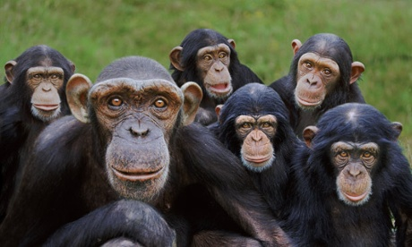 Chimpanzees have complex social lives and structures, and show signs of empathy with humans. Photograph: Alamy