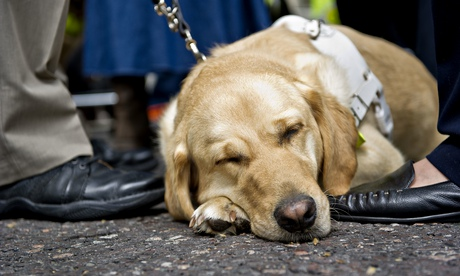 guide dog in white harness sleeping