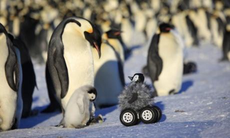 Машина с дистанционным управлением, замаскированная под птенца императорских пингвинов, обеспечивает незаметный подход к птицам