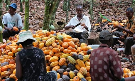 MDG : Agriculture in Africa : Farmers break cocoa pods in Ghana