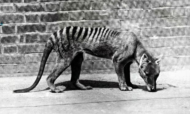 Tasmanian-tiger-012.jpg