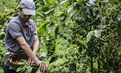 A worker collects coffee beans in Nicaragua