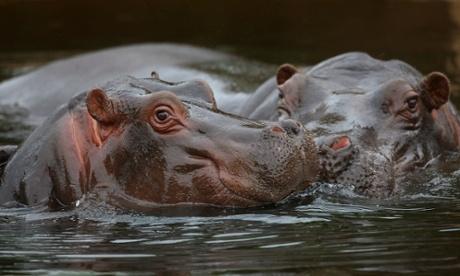 Hippo Beach Werribee Open Range Zoo hippopotamuses