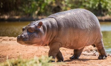 Hippo Beach Werribee Open Range Zoo Pansy hippopotamus calf